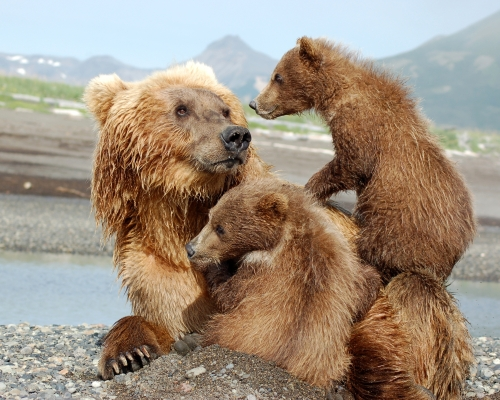 Montana State Animal, Grizzly Bear, video and pictures